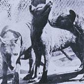 Tìm hiểu thêm về hổ Tasmania