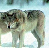Công nghệ nhận dạng tiếng sói tru