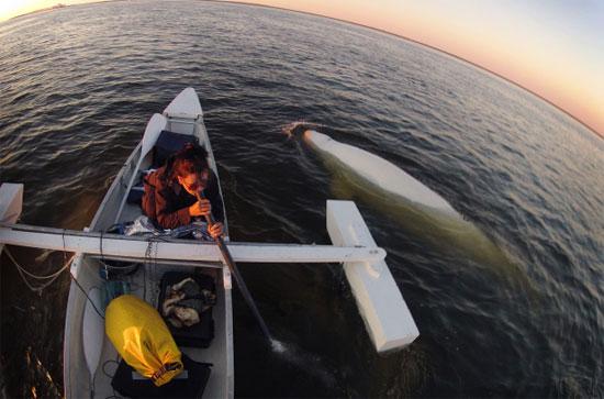 Cá voi trắng hát cùng các nghệ sĩ Canada