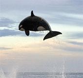 """Màn trình diễn trên không của """"sát thủ đại dương"""""""