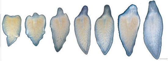 Đã kích hoạt được khả năng tái sinh đầu ở loài giun dẹp