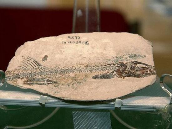 Hóa thạch một loài cá mang tròn cổ đại
