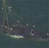 Video: Giải cứu cá voi lưng gù bị mắc lưới