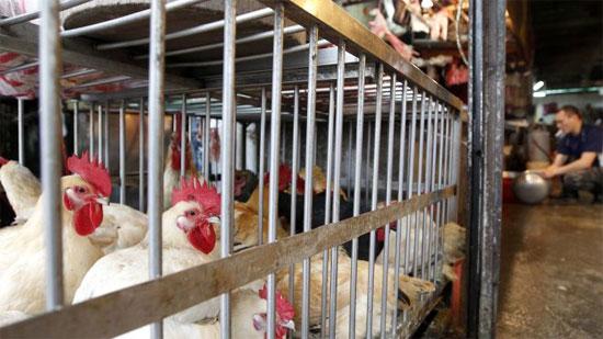 Vi rút cúm gia cầm H7N9 có khả năng lây truyền trong không khí