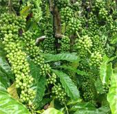 Chọn 21 giống cà phê năng suất cao, kháng sâu bệnh