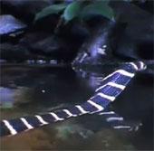 Video: Hổ mang chúa tử nạn trước hàm cá sấu