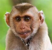 Cảnh báo virus nguy hiểm lây từ khỉ sang người
