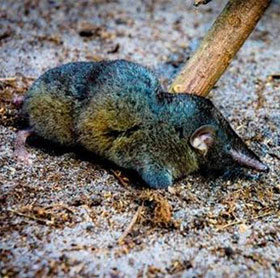 Phát hiện loài chuột chù mới siêu khỏe