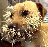 Video: Chú chó tội nghiệp bị cắm gai nhím vào người