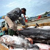 Indonesia, Ấn Độ tàn sát cá mập nhiều nhất thế giới