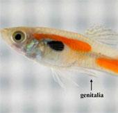 Cá đực dùng ngạnh ép cá cái giao phối