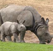 Mẹ con tê giác khổng lồ ra mắt tại Mỹ