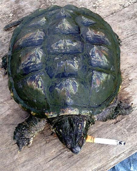 Rùa nghiện thuốc lá