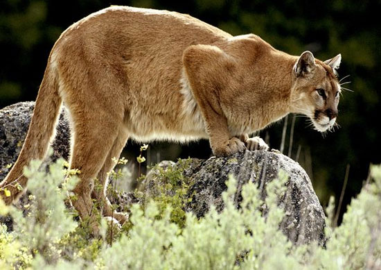 Sư tử núi