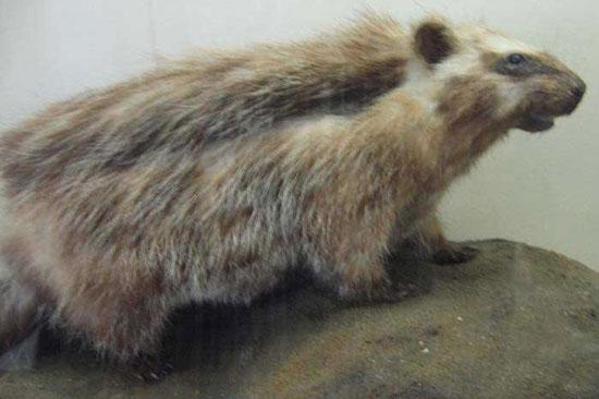 Chuột nhím tên khoa học là Lophiomys imhausi có khả năng giết chết một con sư tử nhờ độc tố phủ trên lông