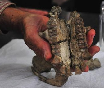 Tìn thấy hóa thạch hộp sọ vượn niên đại 20 triệu năm