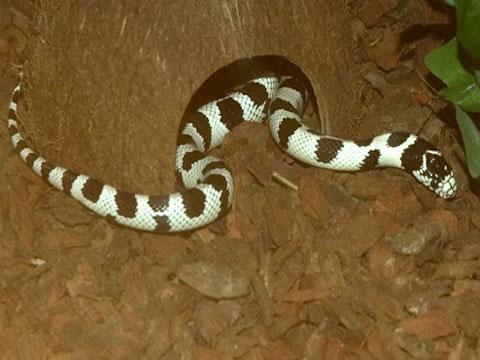 Rắn chúa có thể ăn thịt con rắn khác dài hơn