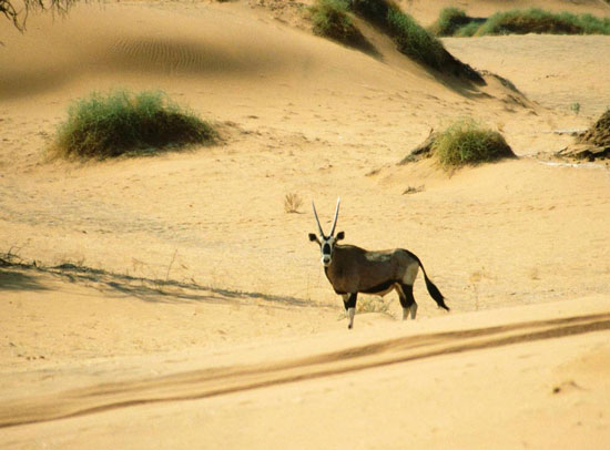 Namib là sa mạc duy nhất trên thế giới có voi sinh sống.