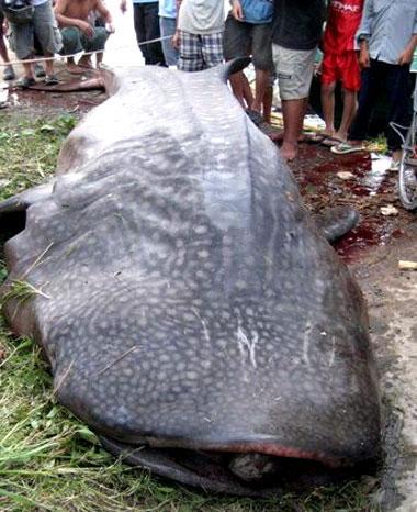 Cá trong sách đỏ nặng 2 tấn chết sau khi vướng vào lưới đáy của ngư dân Cà Mau. Ảnh: K. Ngư.