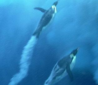 Chim cánh cụt cũng có thể bay