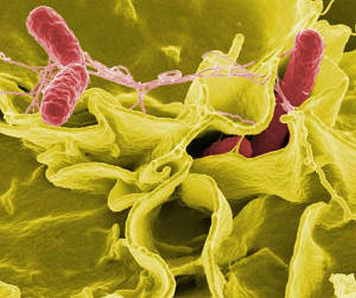 Dùng vi khuẩn vô hại trị vi khuẩn có hại