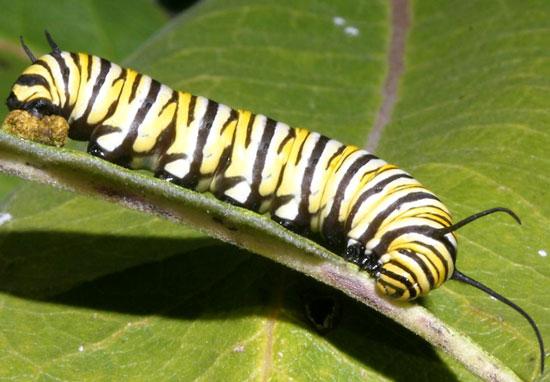 Dùng ong diệt sâu bướm