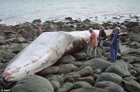 Phát hiện xác cá voi dài 17m