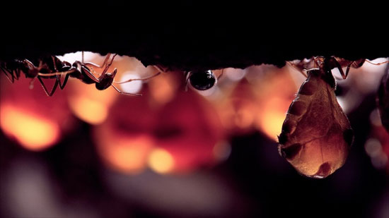 Những tổ kiến sâu trên 3m, có đến nửa tá kiến chúa cùng tồn tại. Ảnh (Nguồn BBC)