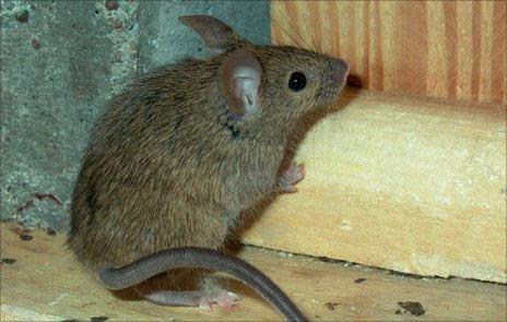 Hiểm họa mới từ chuột nhà châu Âu