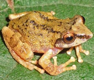 Cận cảnh 10 loài ếch mới phát hiện tại Ấn Độ