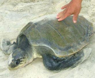 Quảng Trị: Thả rùa quý hiếm về đại dương