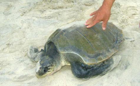 Con rùa Quản Đồng được thả về với tự nhiên. (Ảnh: SP)