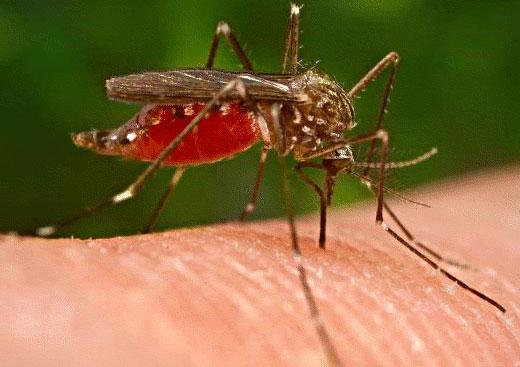 """""""Triệt sản"""" muỗi để chặn sốt rét"""