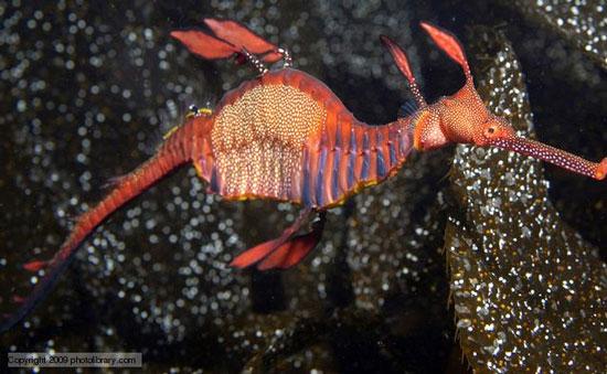 Cá rồng biển thân cỏ