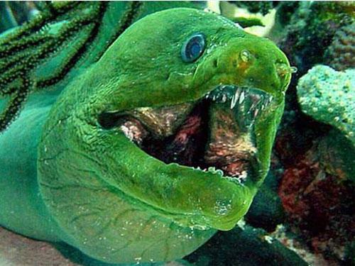 Loài cá chình Thyrsoidea macrurus sống ở Thái Bình Dương sẵn sàng cắn khi bị khiêu khích