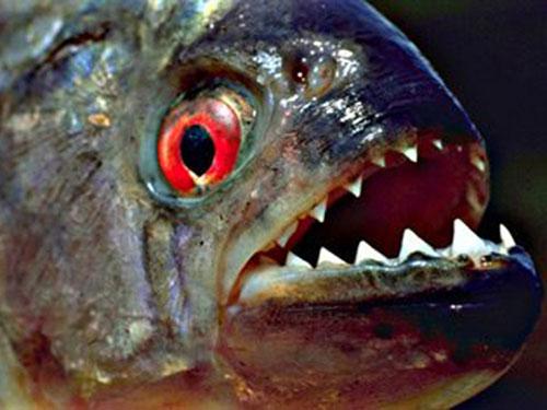 Loài cá hổ (Piranha) sẵn sàng tấn công bất cứ thứ gì chúng gặp