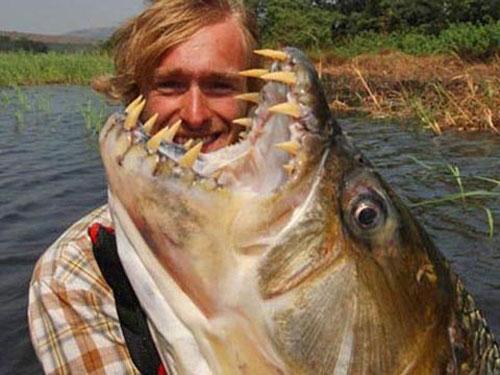 Cá khổng lồ Hydrocynus goliath có thể ngoạm đứt bất kỳ thừ gì