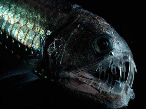Cá rắn Viperfish thường săn mồi vào ban đêm