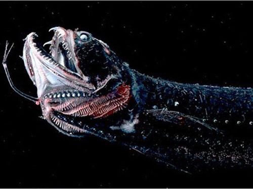 Loài cá rồng Arowana