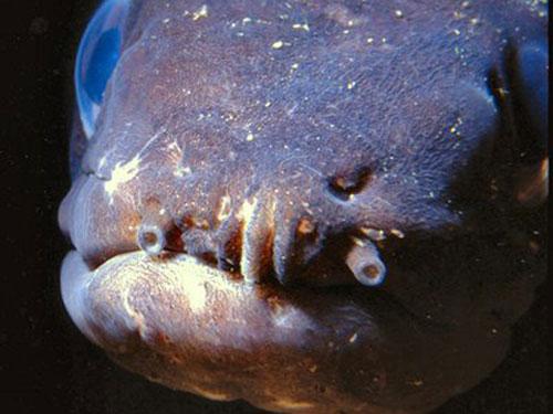 Cá chình Conger có hàm răng sắc nhọn và rất dữ tợn