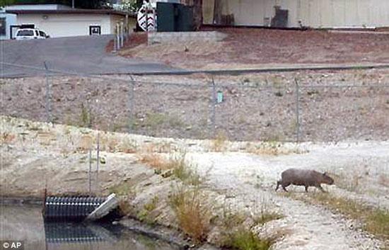 Phát hiện chuột to như lợn tại Mỹ