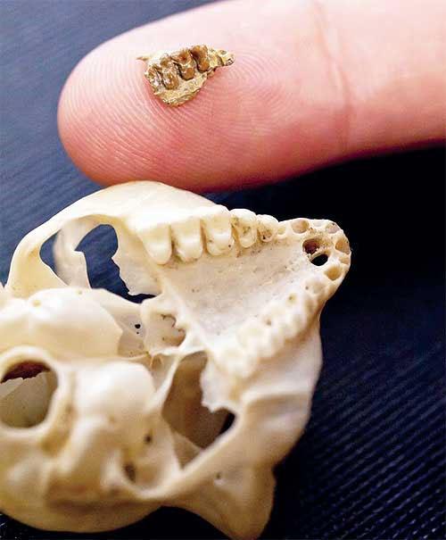 Mẫu vật hàm trên của con Teihardina brandti (trên) và mẫu sọ của con Tarsier, một loài khỉ lùn ở Đông Nam Á - (Ảnh: Discovery)