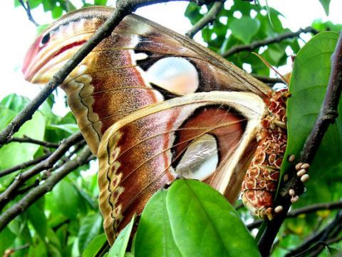 Một con bướm khế đẻ trứng trong tự nhiên. Trứng nở ra sâu bướm, sau đó đóng kén thành nhộng rồi phát triển thành bướm.