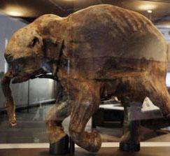 Phát hiện xác voi ma mút nguyên vẹn ở Bắc Cực