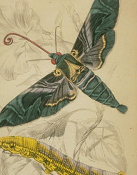 """Chiếc vòi dài màu đỏ của loài bướm này được """"thiết kế"""" để hút mật hoa và giúp thụ phấn cho một loài lan có ống hoa dài."""