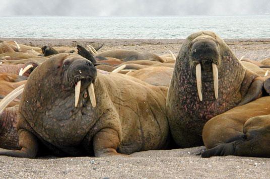 Hàng ngàn con hải mã dạt vào bở biển tây bắc Alaska