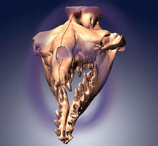 Bí ẩn hộp sọ của cá voi cổ đại