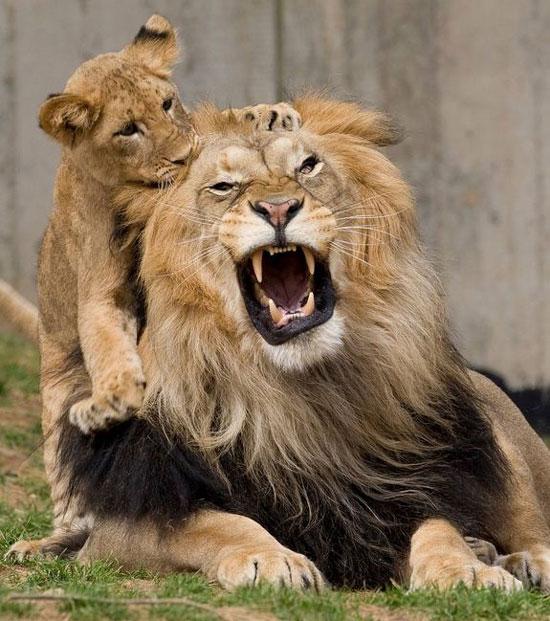 Sư tử phản ứng trước trận động đất (Ảnh: livescience)
