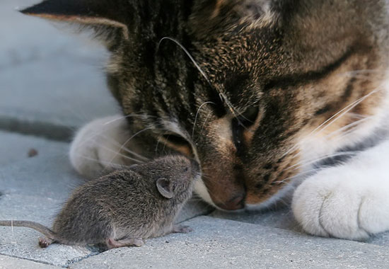 Ký sinh trùng khiến chuột thích mèo