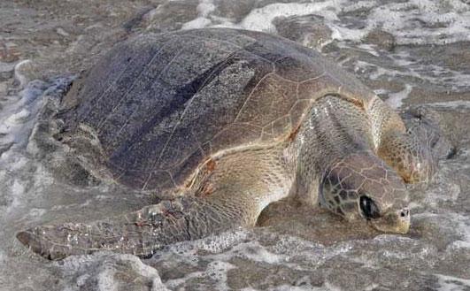 Bình Định: Rùa biển quý hiếm vào bờ đẻ trứng